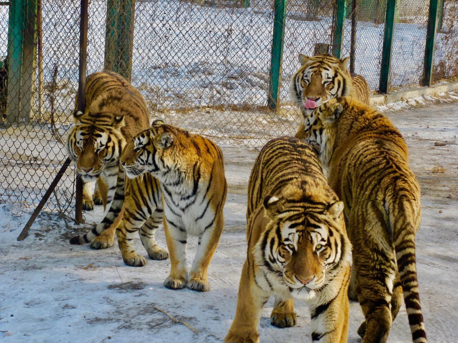 Siberian Tiger Park Harbin Heilongjiang province China