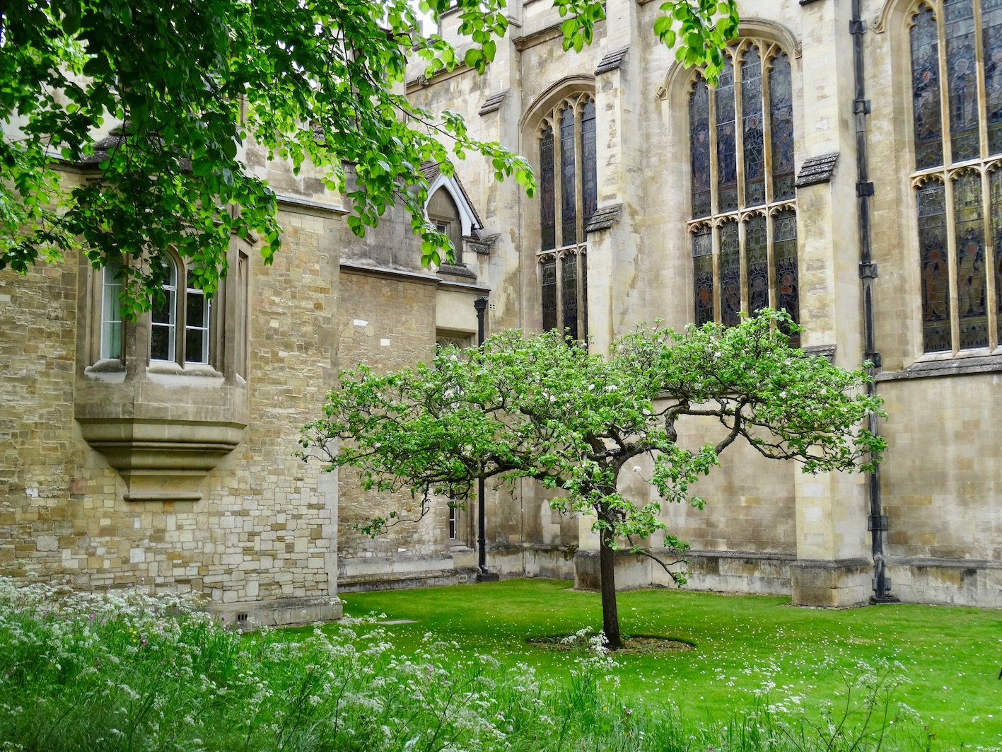 Isaac Newton's Apple Tree Trinity College Cambridge.