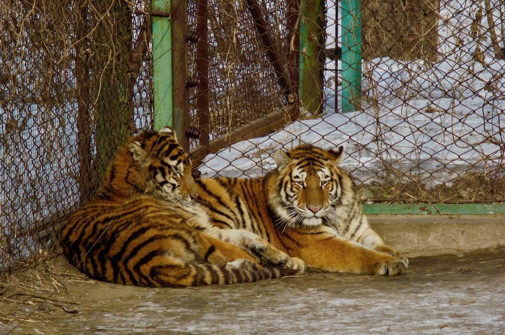 Harbin Siberian Tiger Park Heilongjiang Province China.