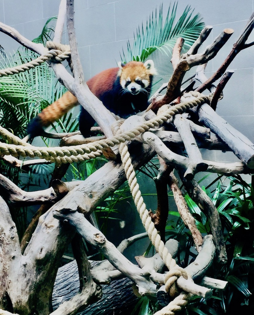 Red panda at Seac Pai Van Park Coloane Island Macau.