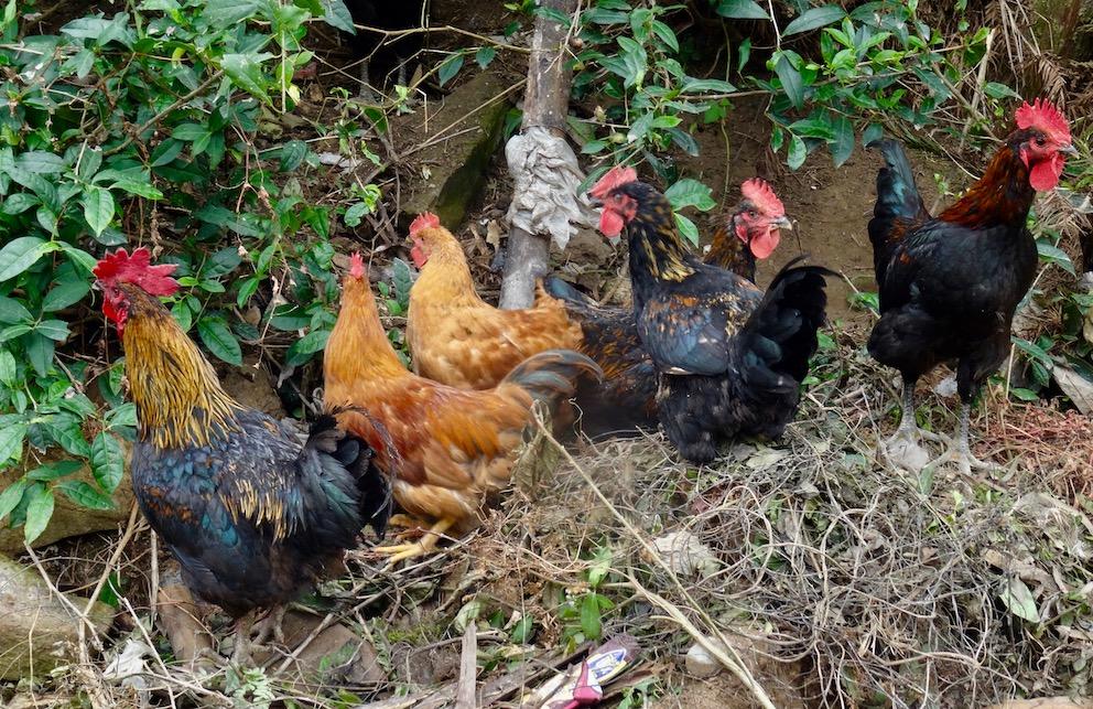 Chickens Taishun County Zhejiang Province China.