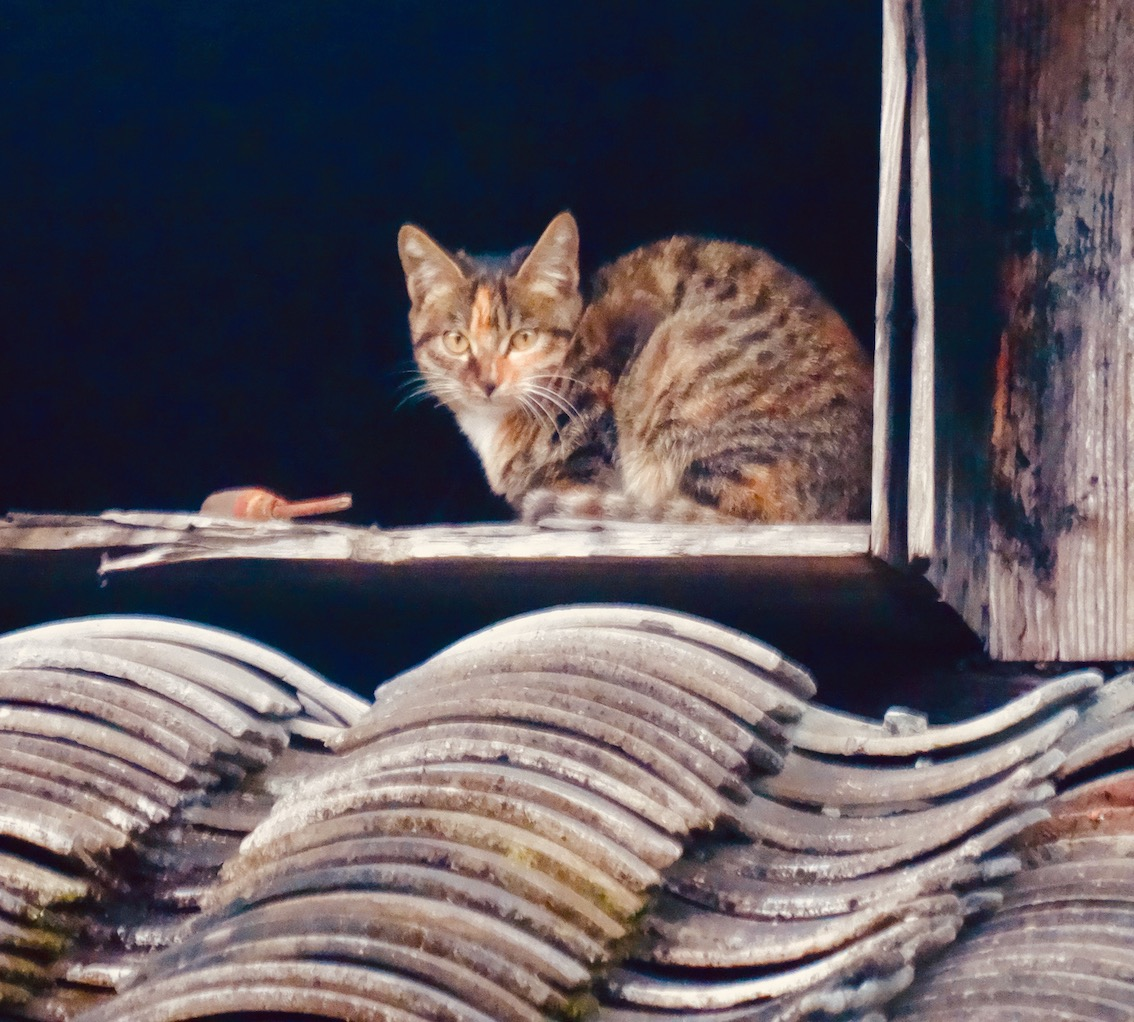 Farmyard cat Xu Ao Di Village Taishun County China.