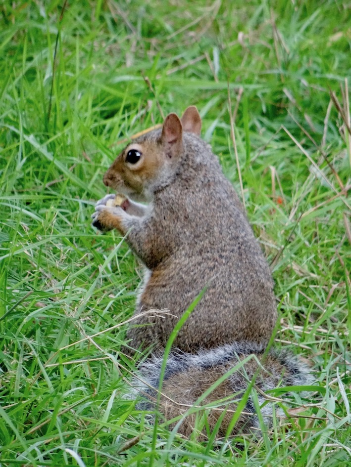 Grey squirrel Hyde Park London.
