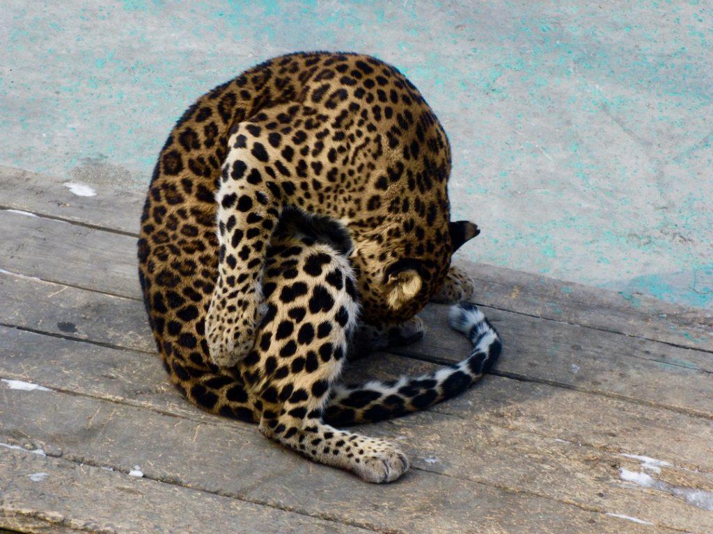 Funny leopard Harbin Siberian Tiger Park China.