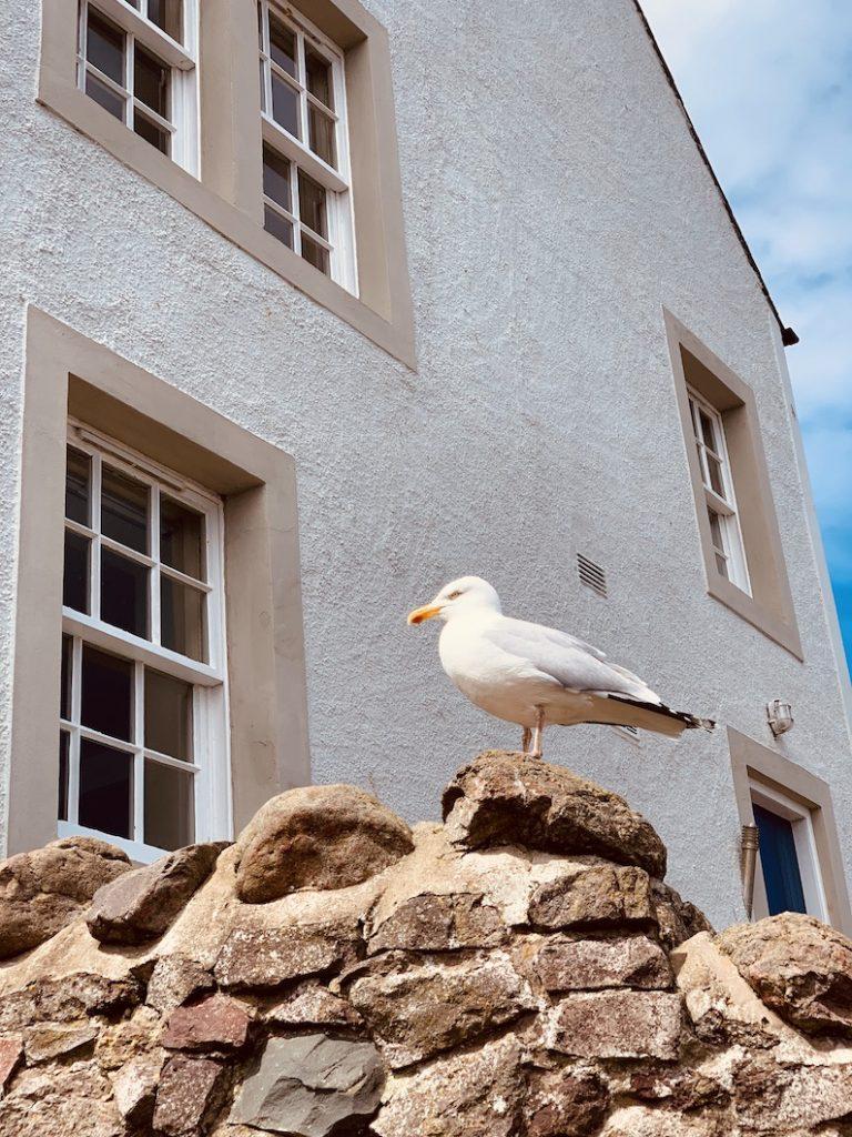 A seagull at St Abbs Village Scotland.