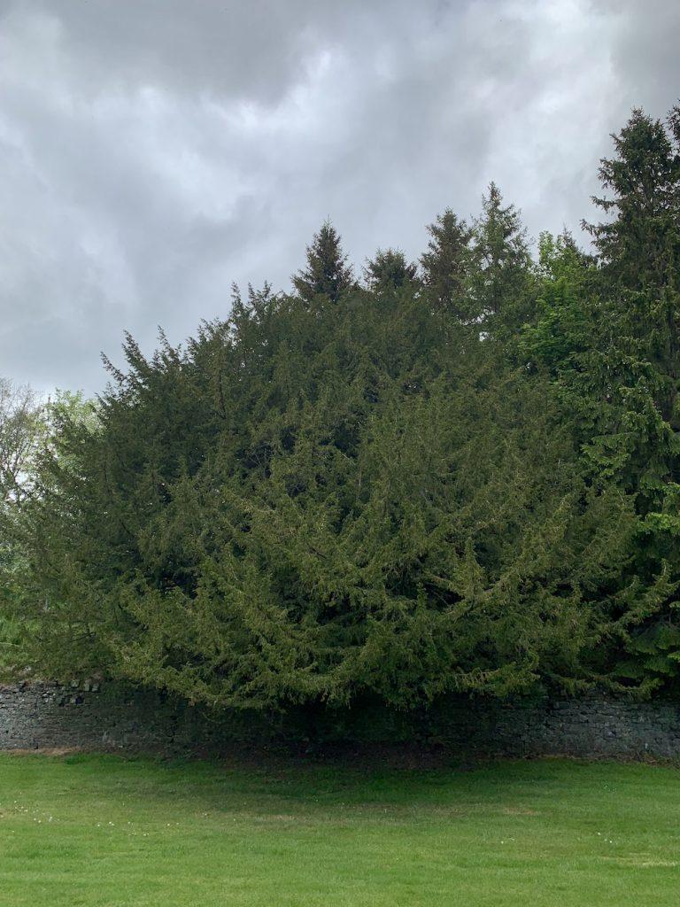 Ancient yew tree Torwoodlee Circular Scotland.