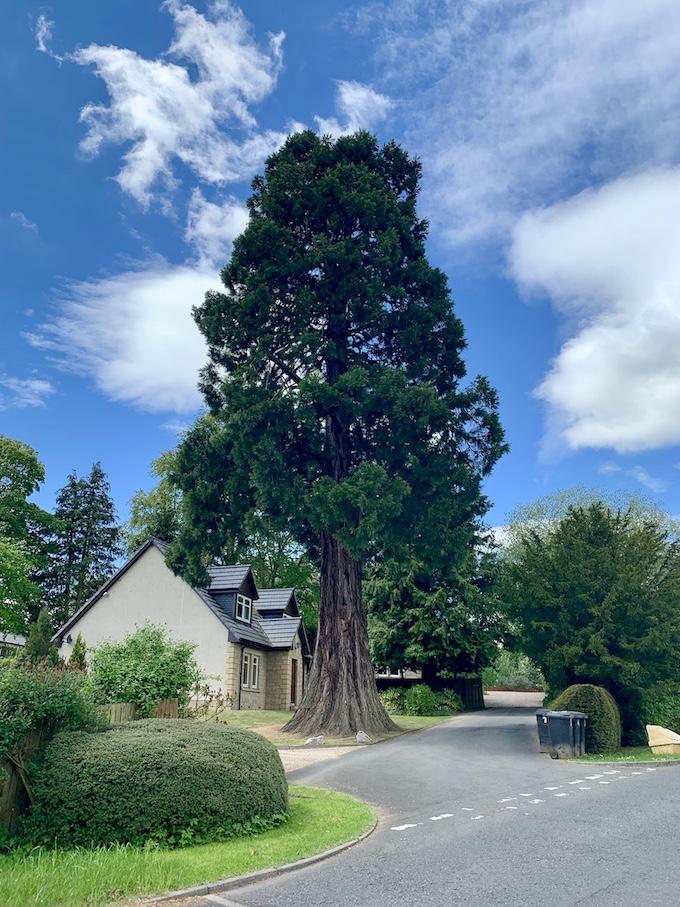 Giant Yew tree William Law Gardens Galashiels.