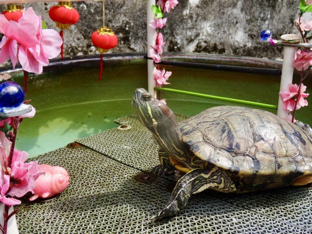 Garden turtle Mandarin's House Macau.