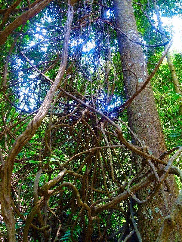 Knotted trees Singapore Botanic Garden.