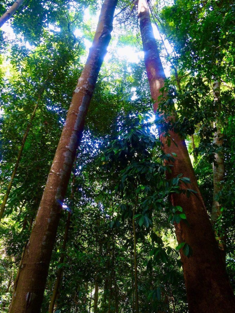 Towering trees Singapore Botanic Garden.