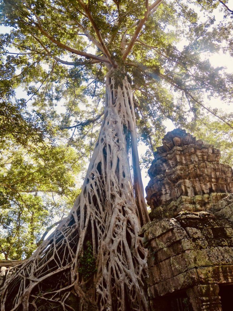 Amazing tree Ta Prohm Temple Cambodia.