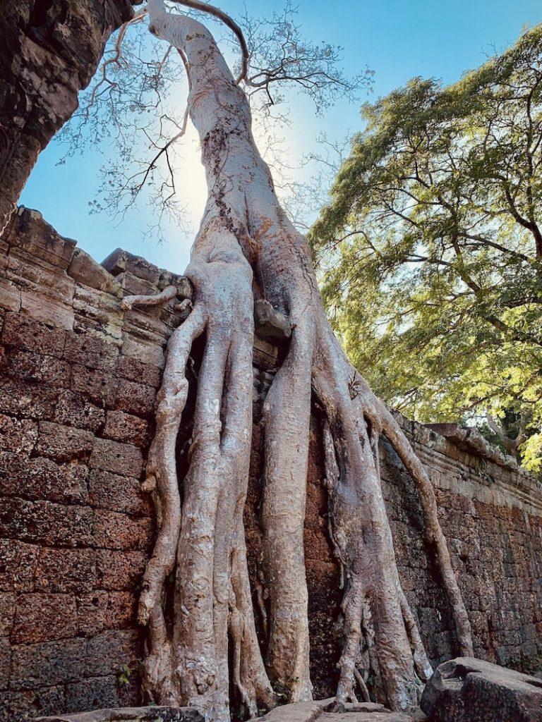 Tangled tree Preah Khan Temple Cambodia.