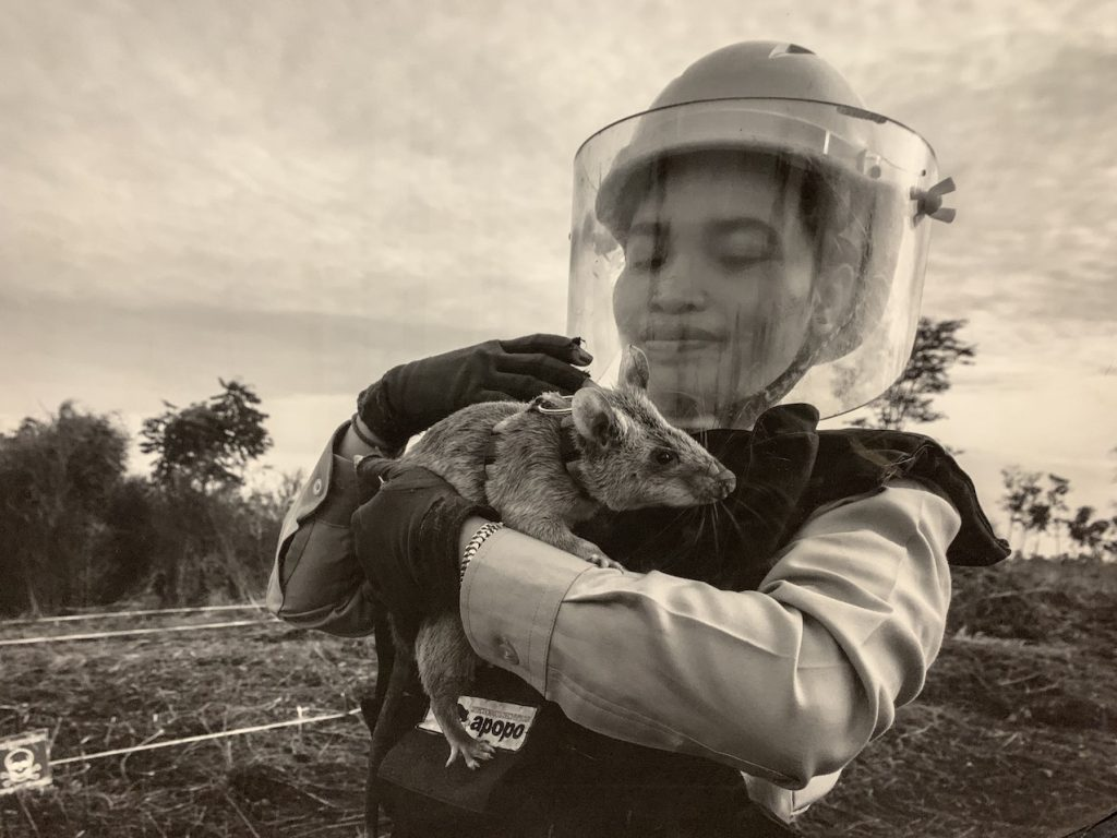 APOPO Rats Humanitarian Demining Cambodia.
