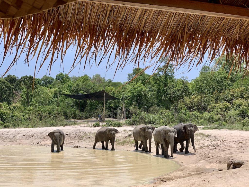 Bathing time Kulen Elephant Forest Cambodia.