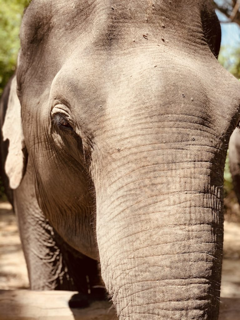 Elephant Siem Reap Cambodia.