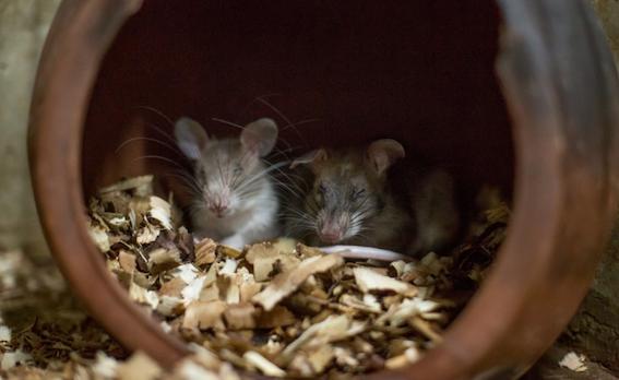 Hero rats Cambodia.