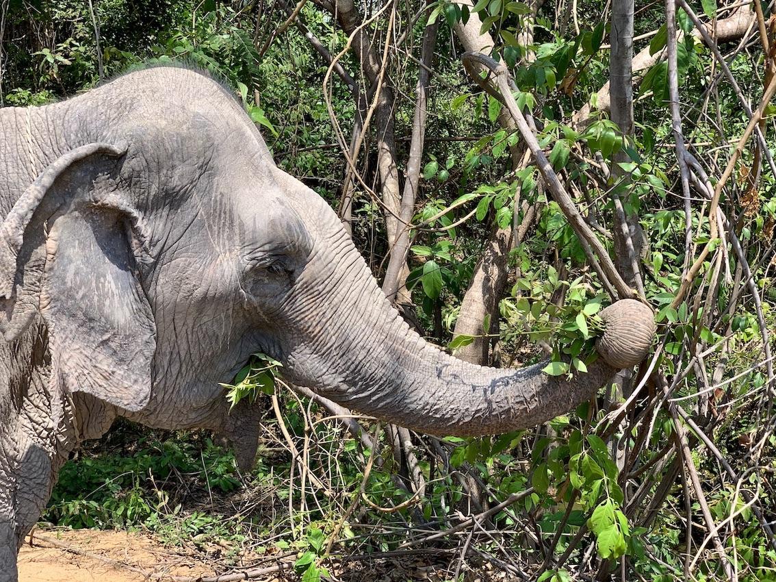Kulen Elephant Forest Cambodia.
