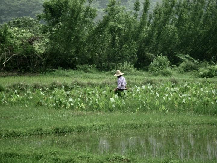 Paddy fields Yangshuo China.