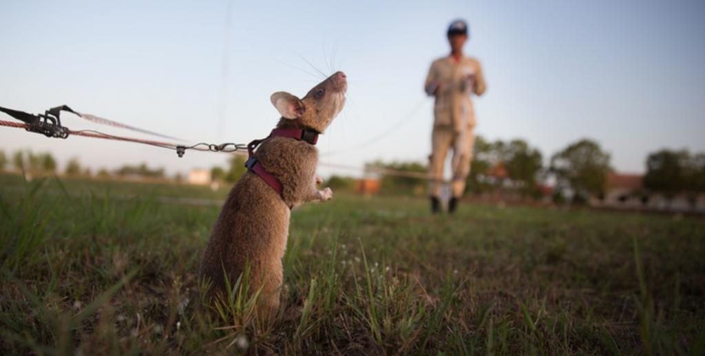 Rat demining Cambodia.