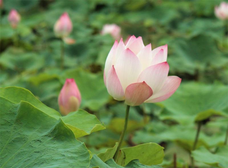 Lotus flower Cambodia.