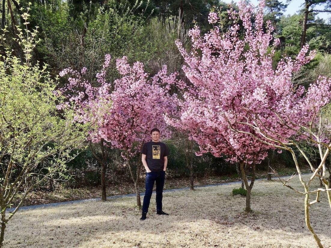 Cherry blossom trees Daegu Gyeongbuk English Village.