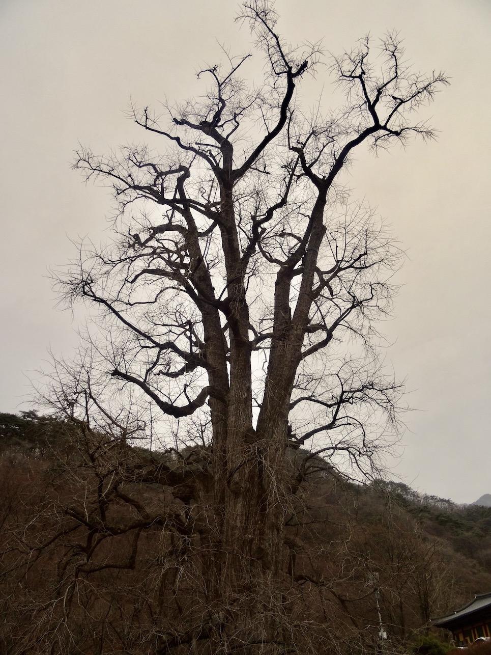 Giant Gingko tree Yongmunsa Temple