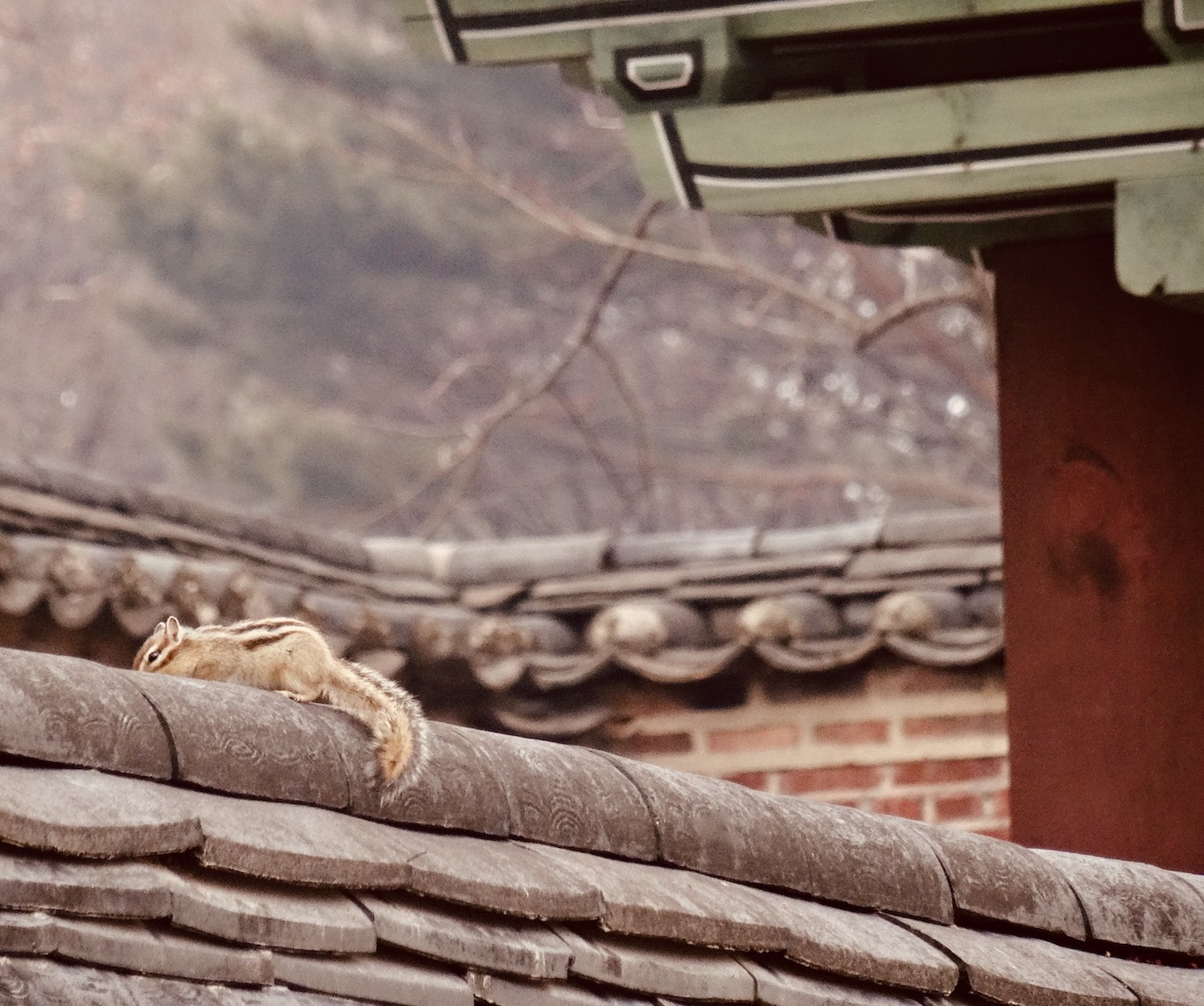 Resident squirrel Changdeokgung Palace.