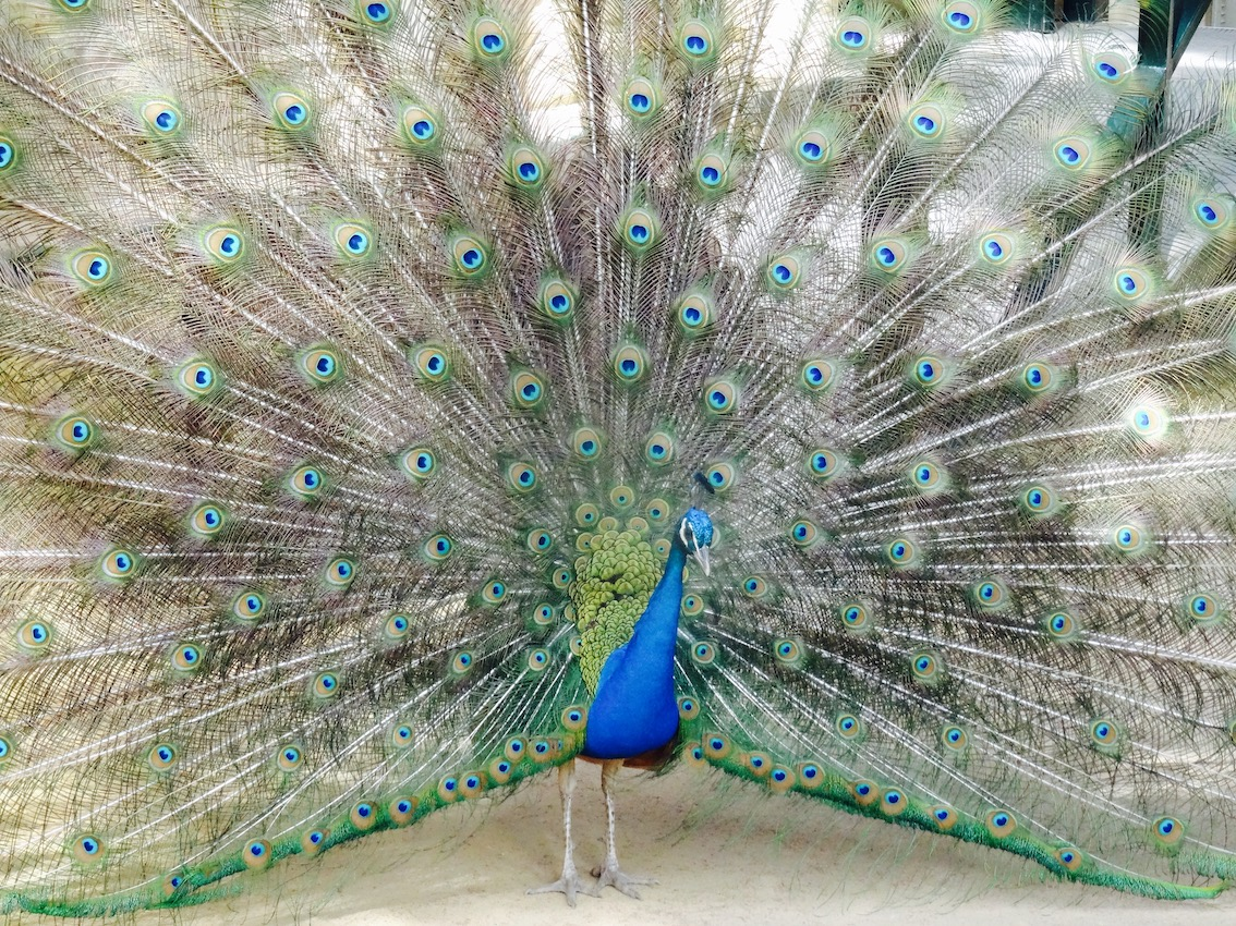 A palace peacock at The Alcazar in Seville.