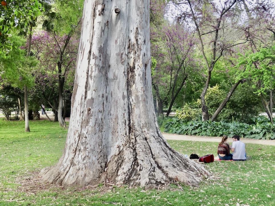 Giant tree Maria Luisa Park Seville
