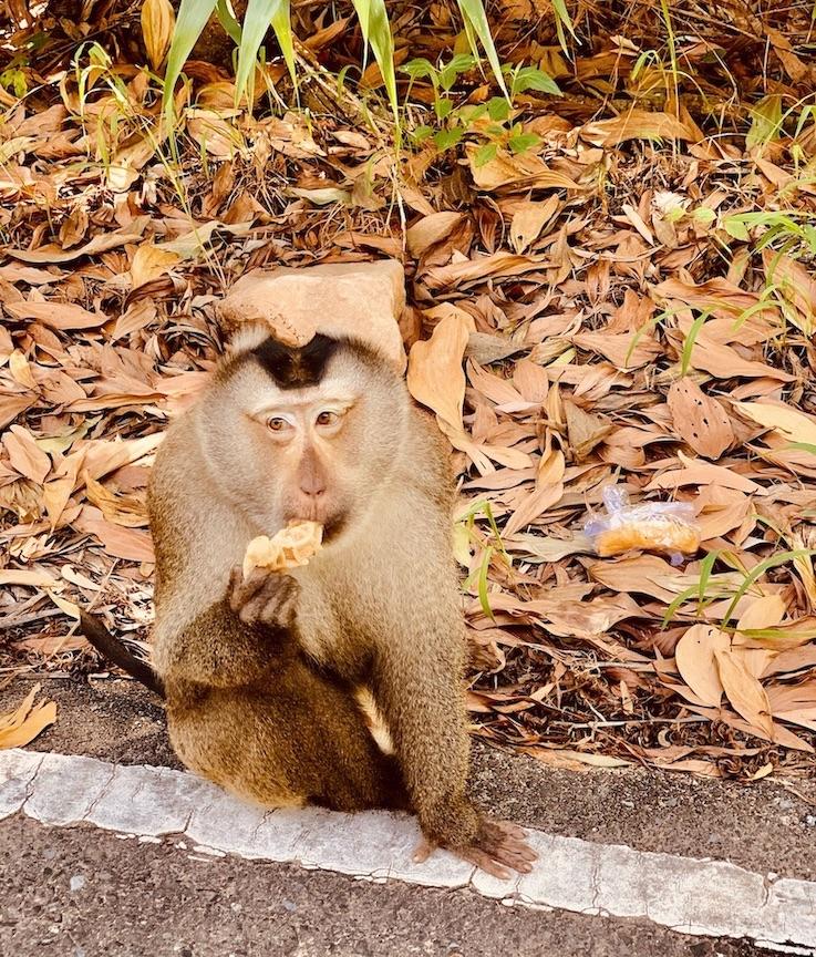 Monkey Bokor Mountain Cambodia.
