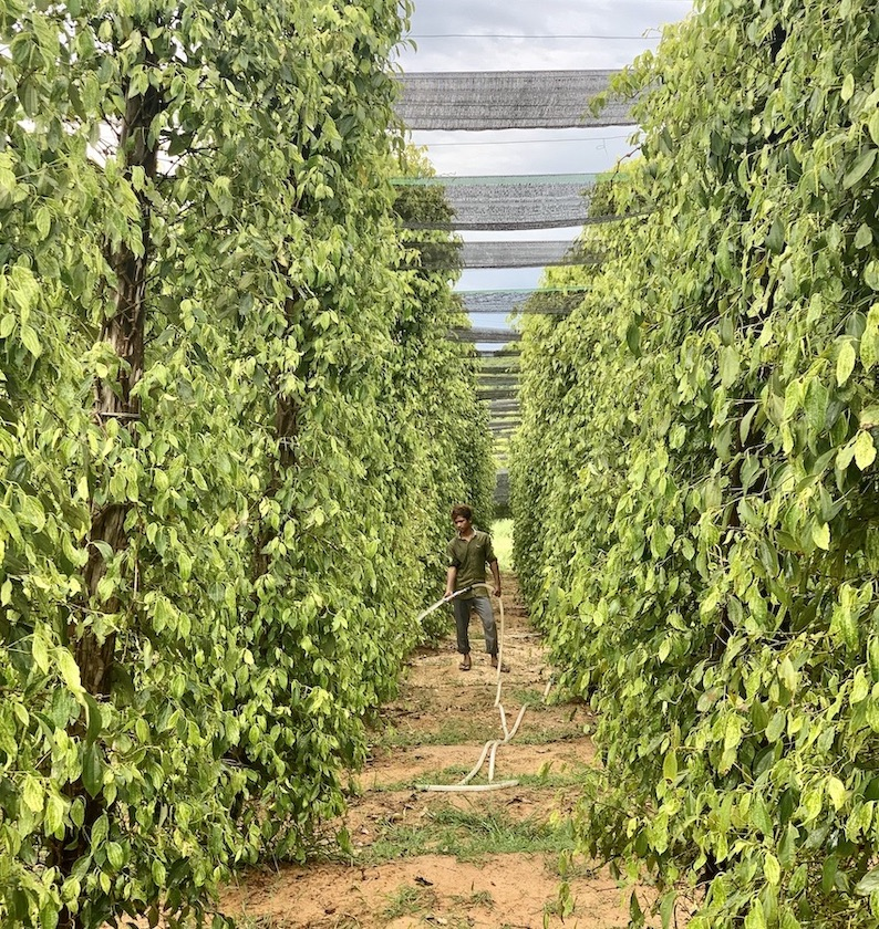Pepper plantation Kampot Cambodia.