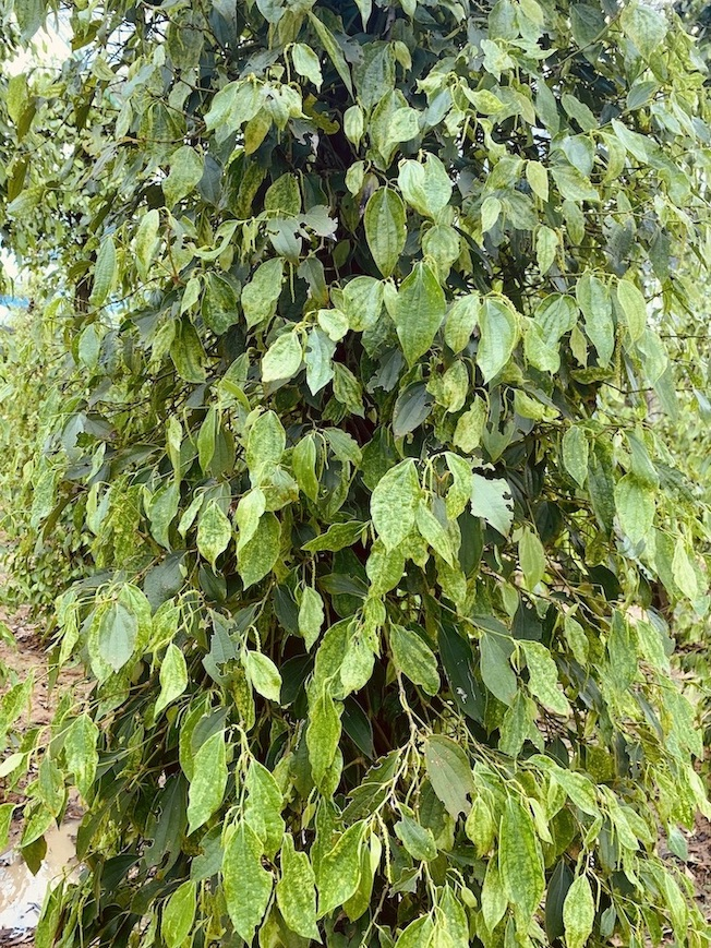 Pepper vines La Plantation Pepper Farm Kampot