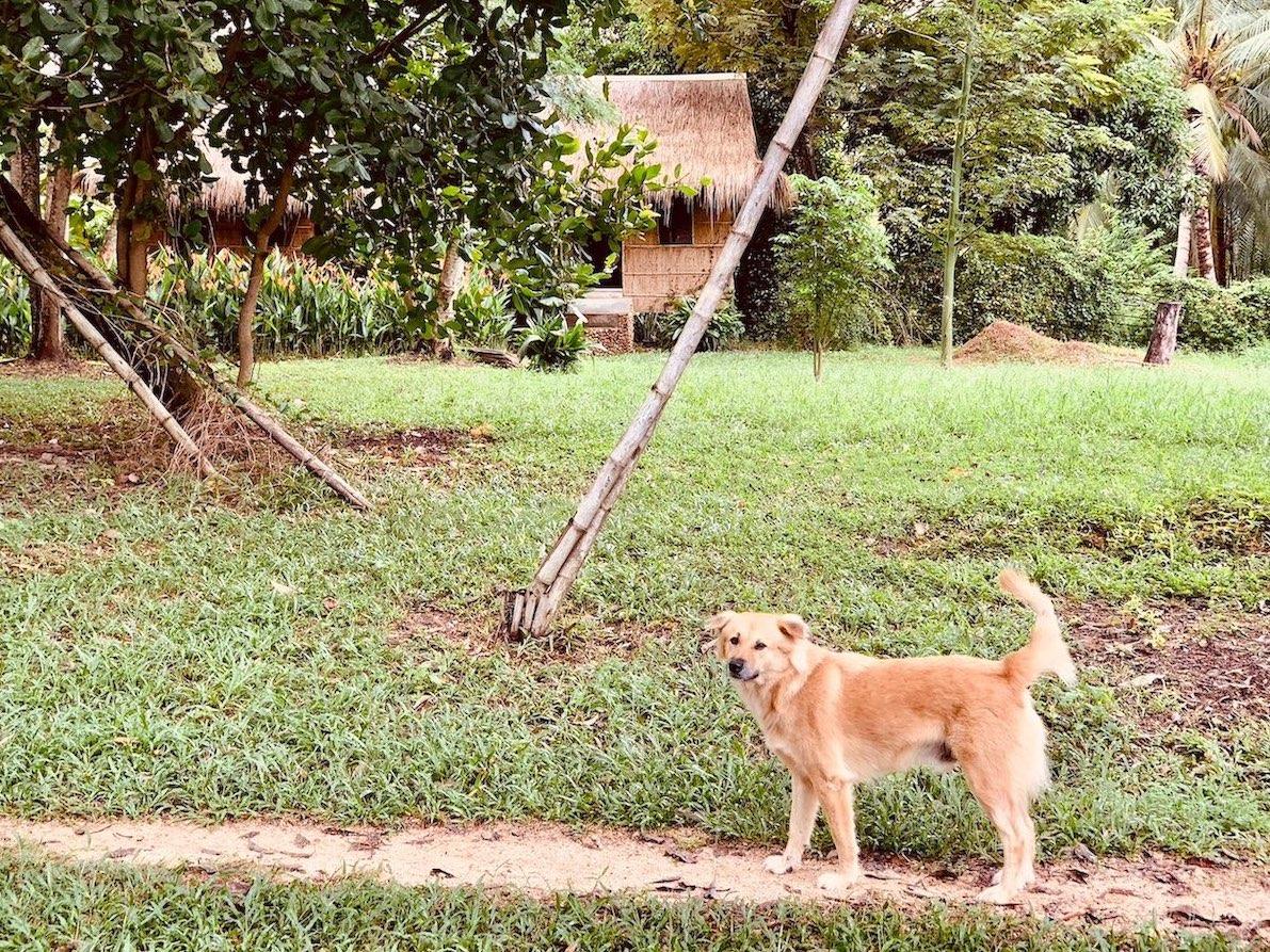 Rescue dog Nibi Spa Kampot.
