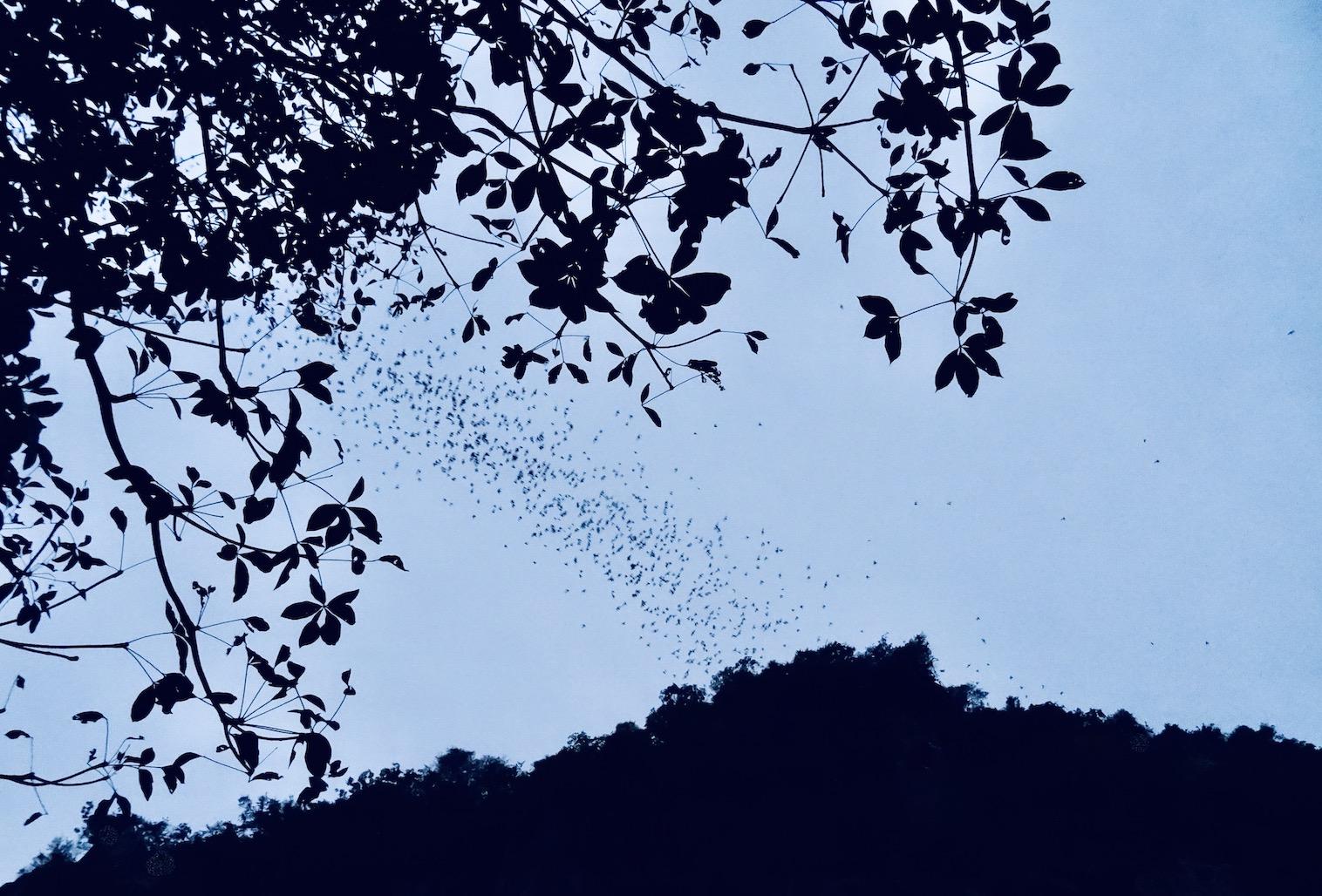 The Battambang bats Cambodia.