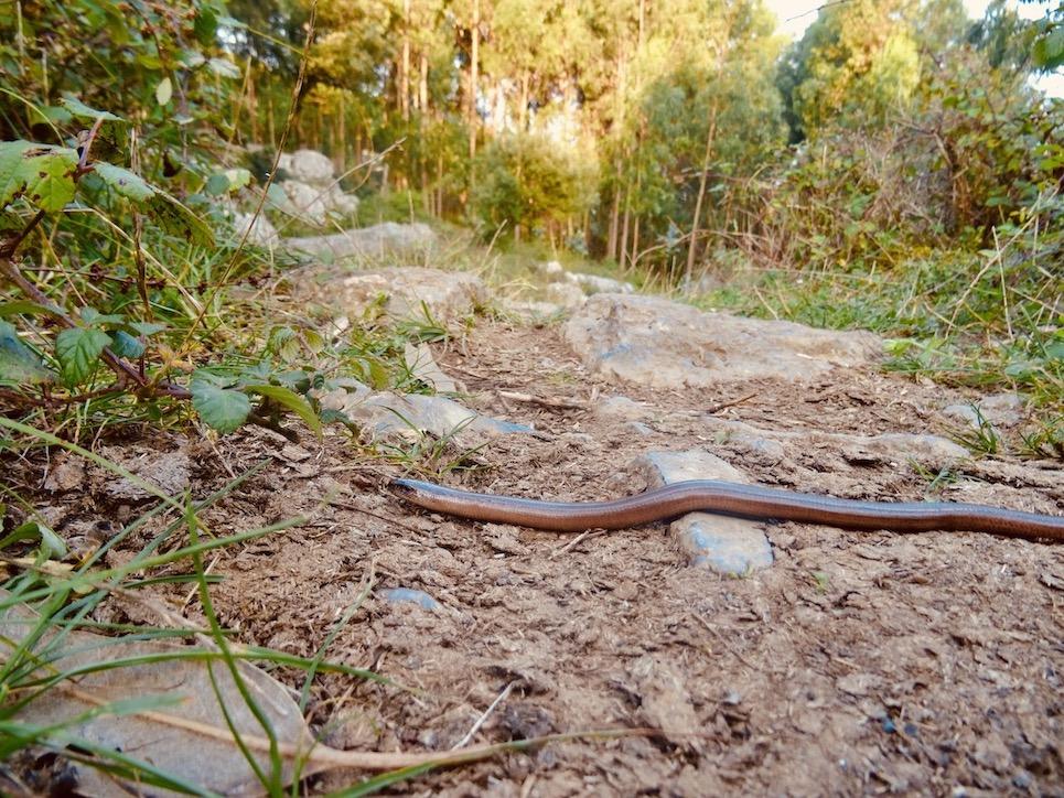 Woodland snake.