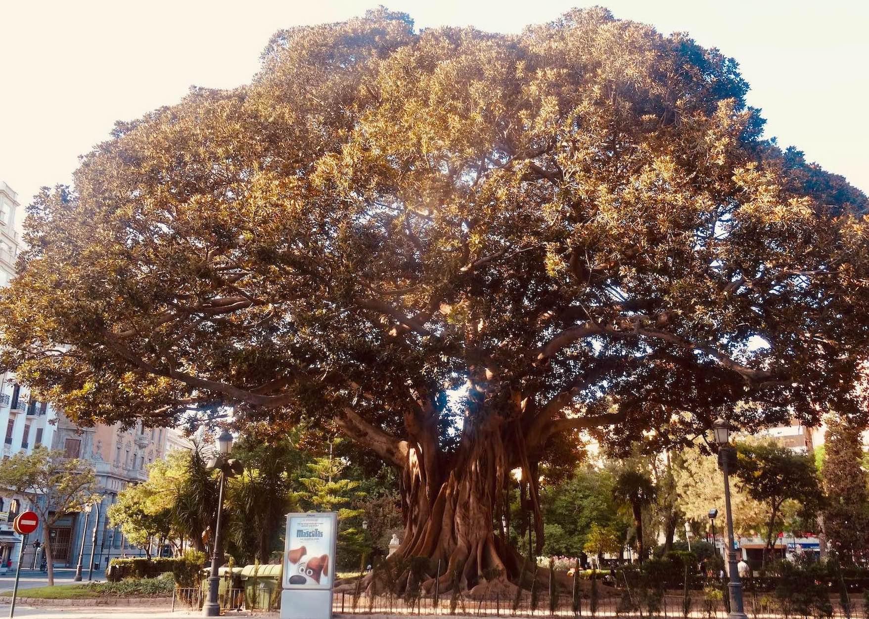 Amazing tree Avinguda de Navarro Reverter Valencia