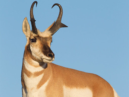 The Little Pronghorn a short story from Qatar