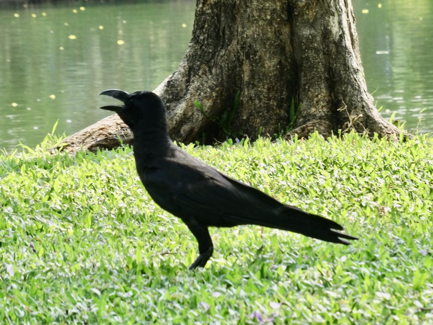 Black crow Lumphini Park Bangkok.