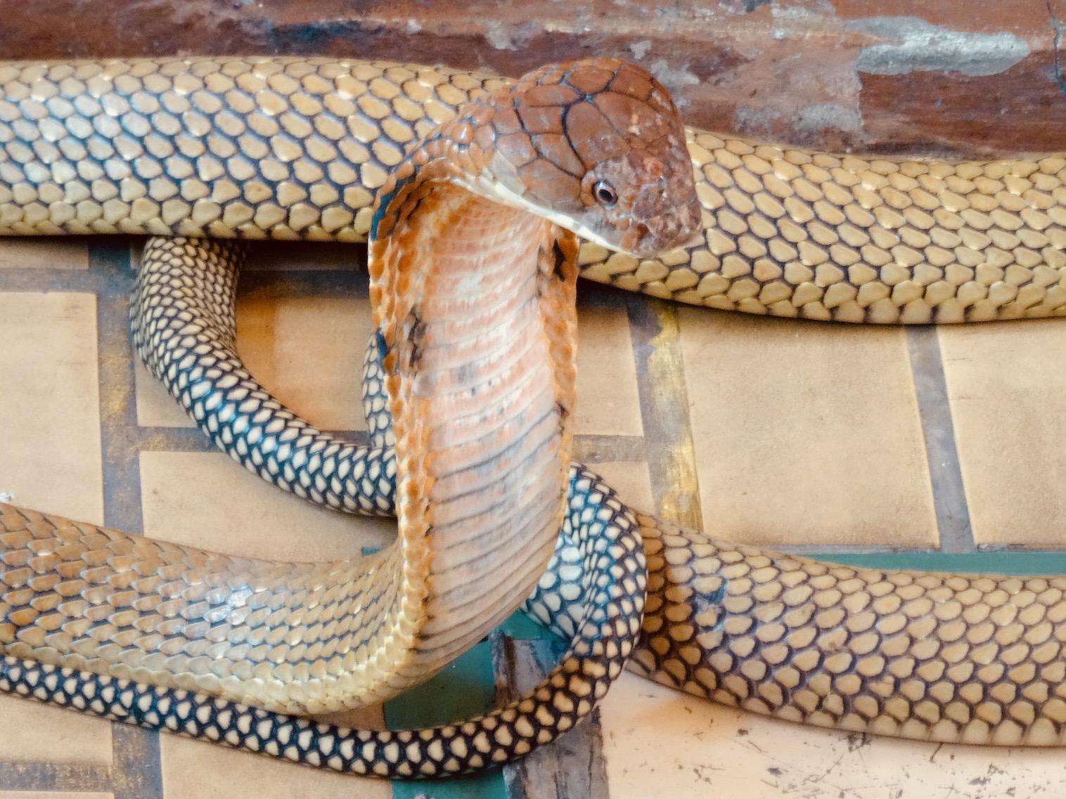 King Cobra Bangkok Snake Farm.