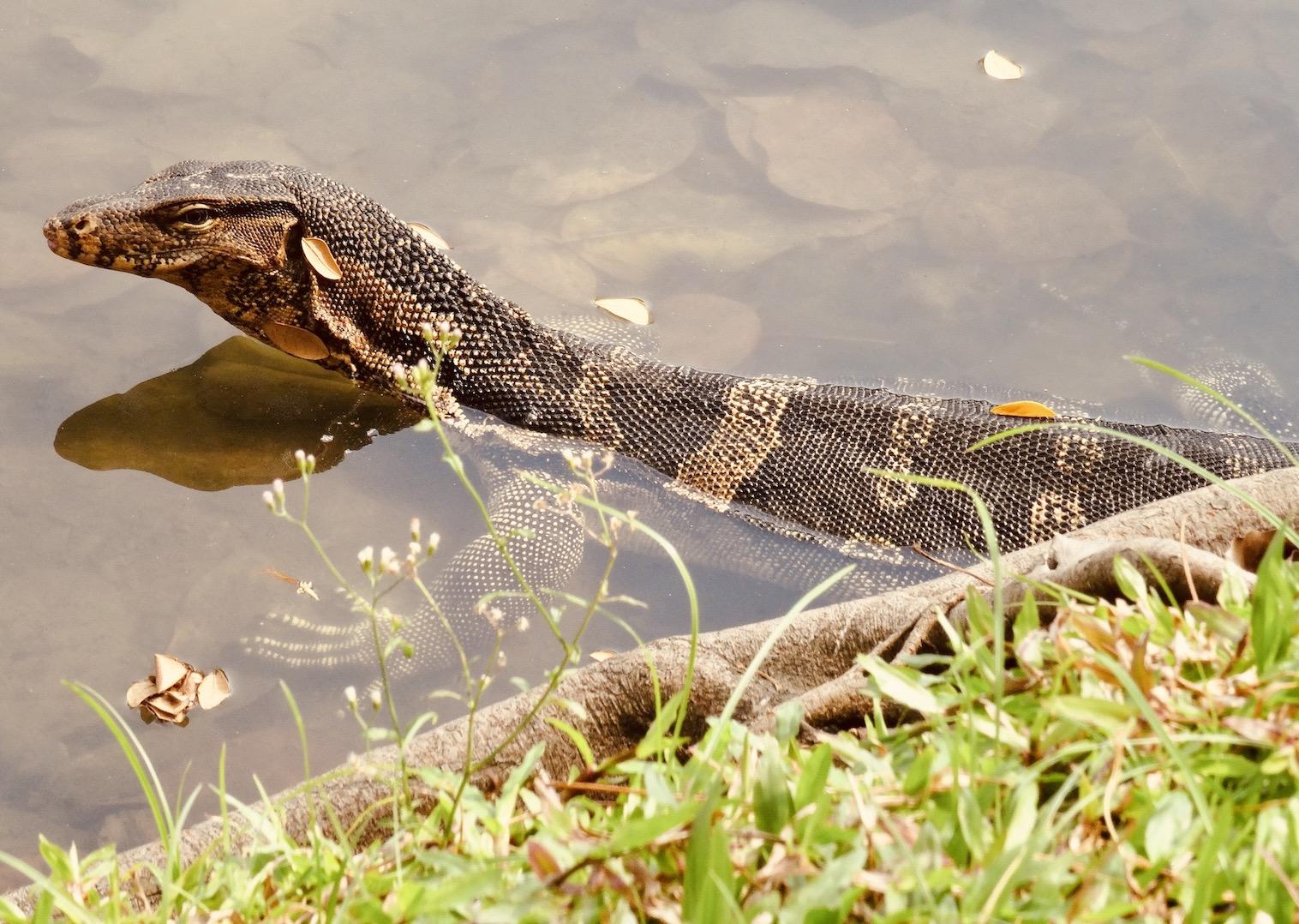 Monitor Lizard in Lumphini Park Bangkok