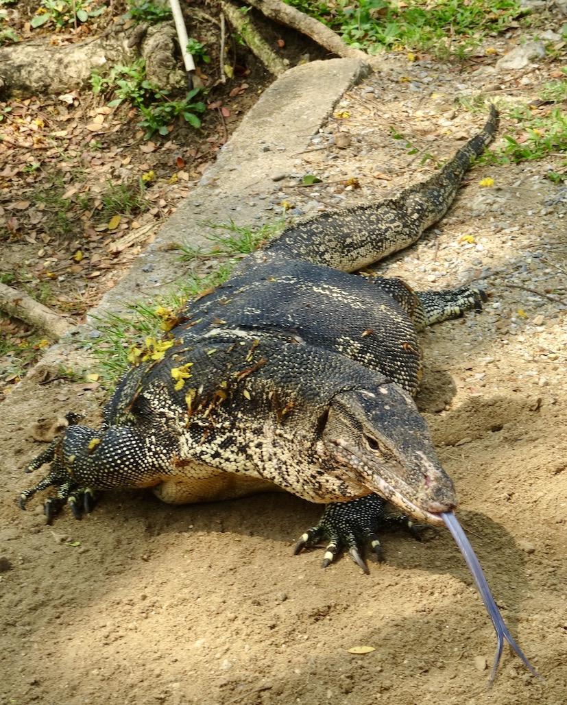 Monitor Lizards Lumphini Park Bangkok.