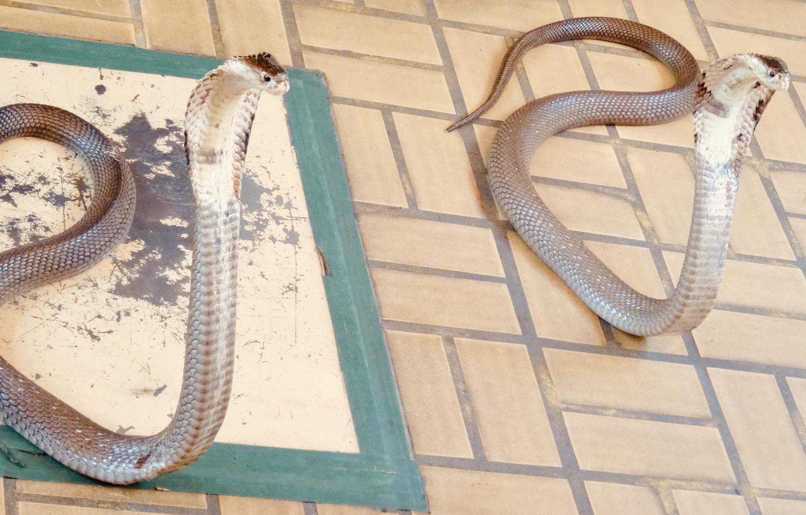 Siamese King Cobras Bangkok.