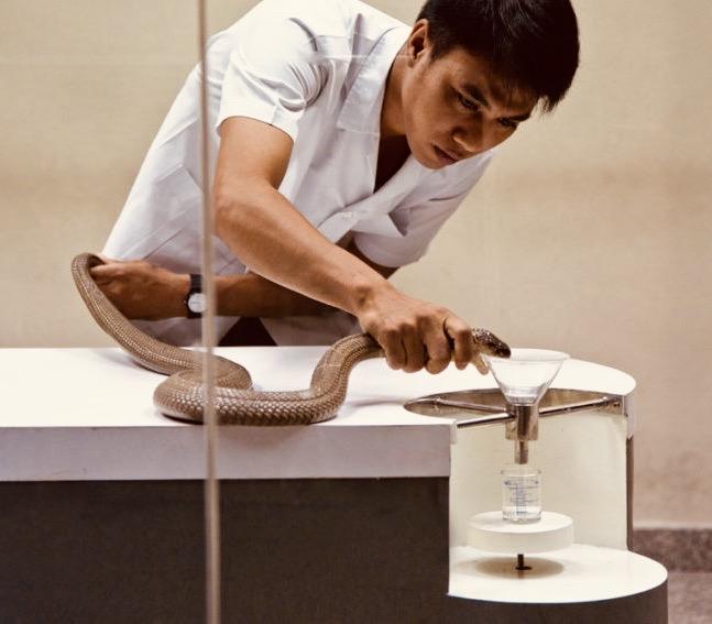 Venom extraction Bangkok Snake Farm.