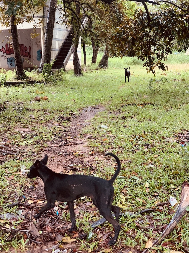 Wild dogs abandoned villas Kep.