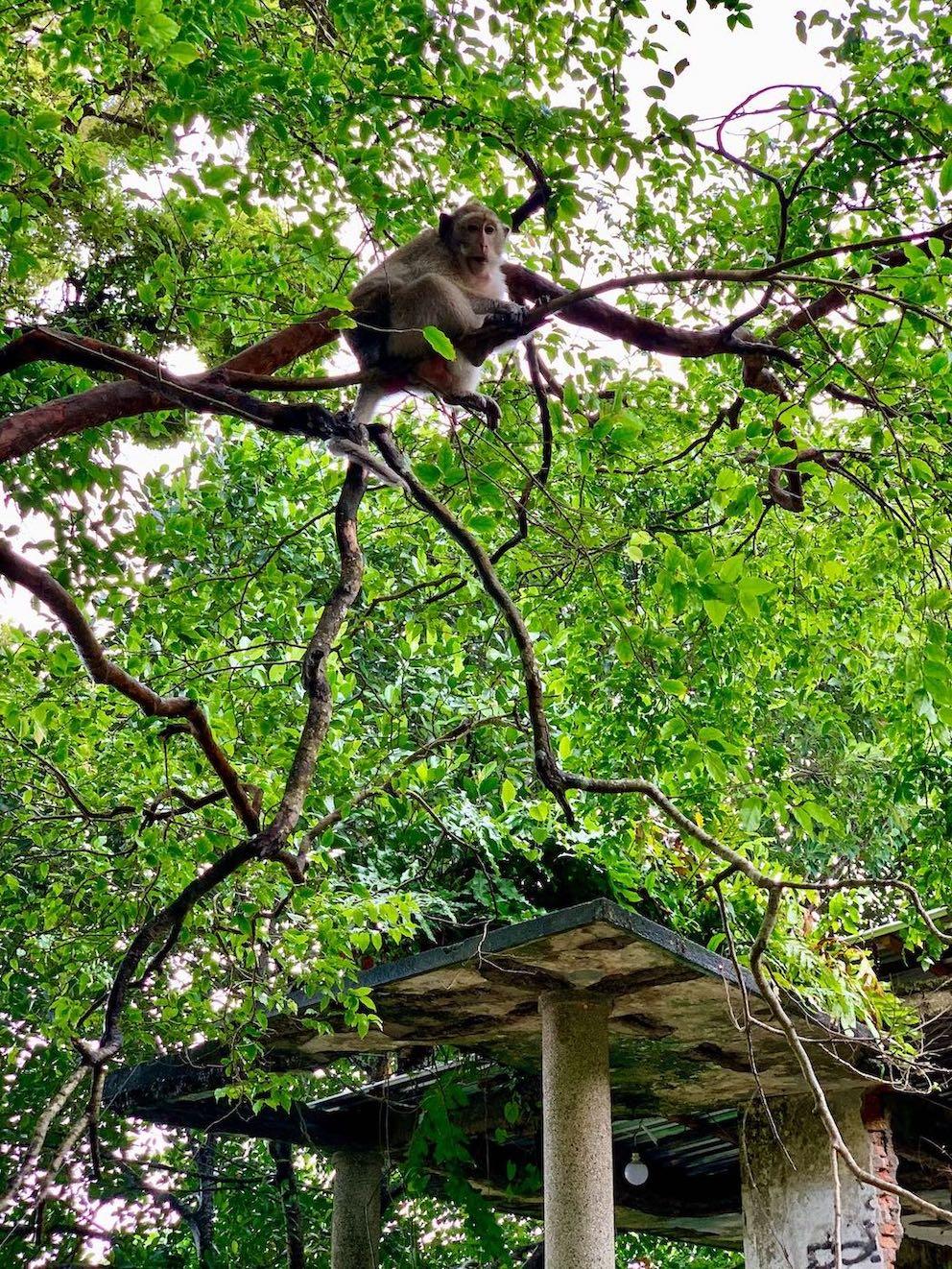 treetop monkey Kep Cambodia.