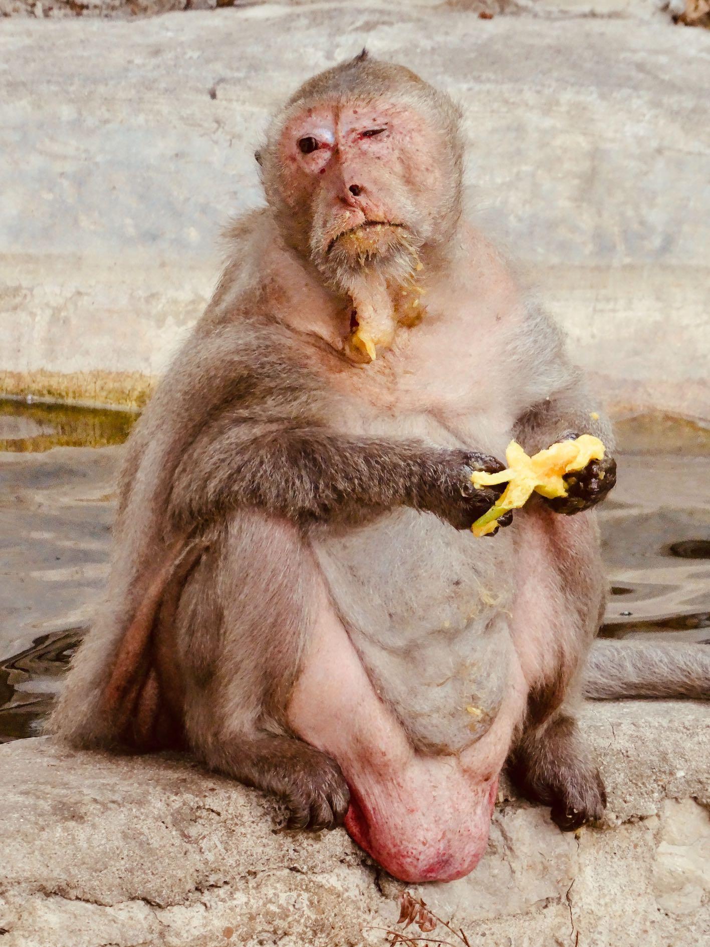 Dying monkey Phetchaburi Thailand.