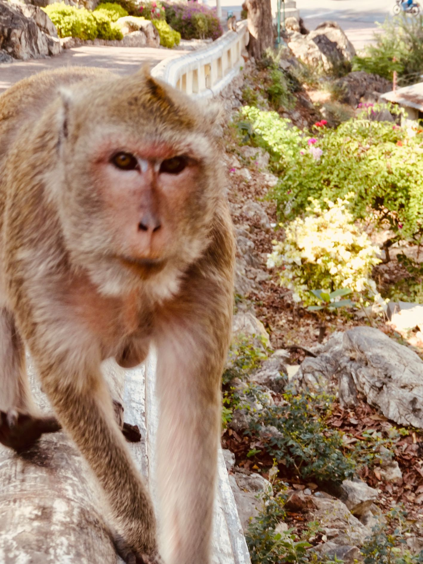 Mischievous monkey Phetchaburi Thailand