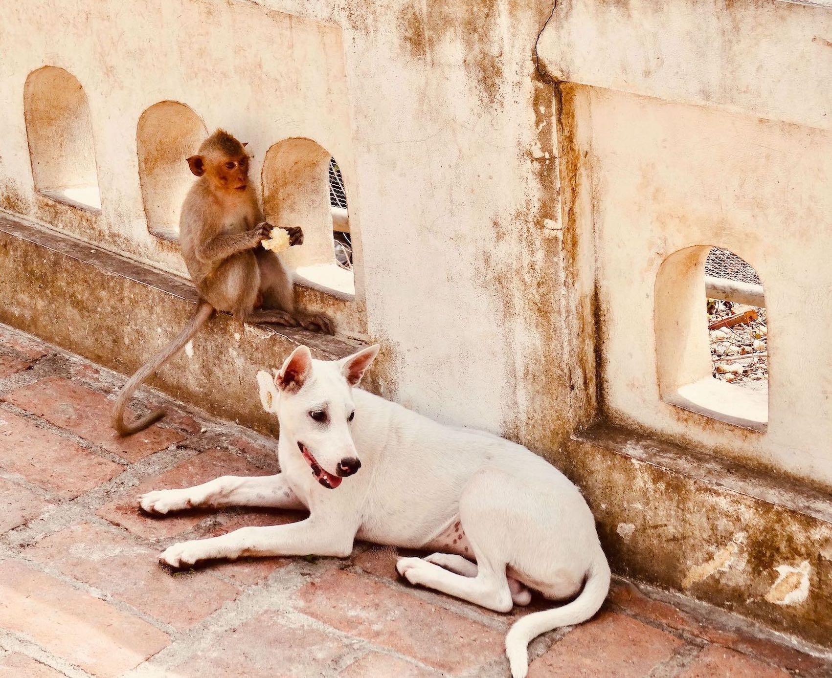 Monkey and dog buddies Phetchaburi Thailand