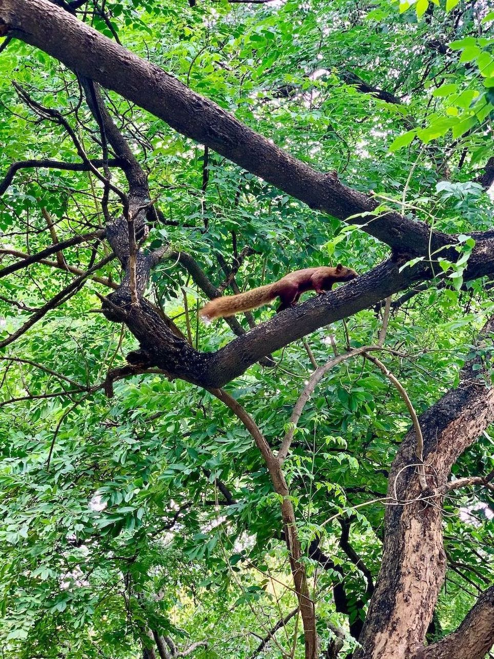 A red squirrel at Wat Phnom Temple