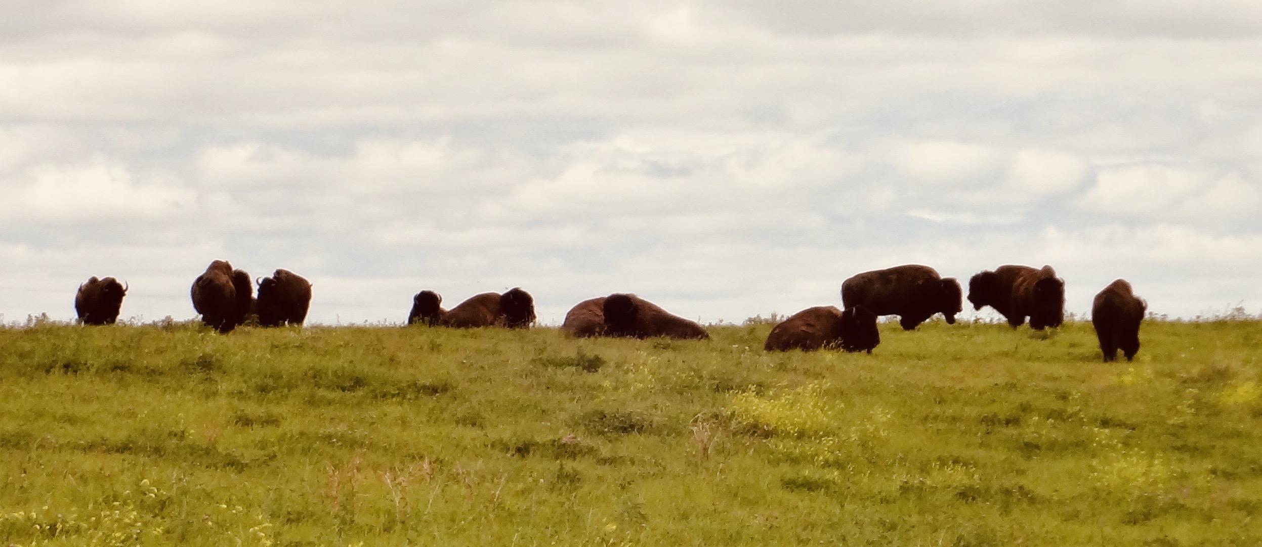 Herd of bison Neal Smith National Wildlife Refuge